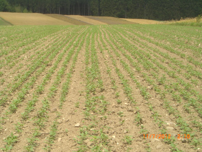 "Agricultural Facility ""4"" Recent Planting from June 2012 - 3 Weeks Growth.  (PRNewsFoto/Medical Marijuana Inc.)"