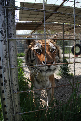 Neglected exotic animals seized in New York, binge watch five-part video series (PRNewsFoto/IFAW)