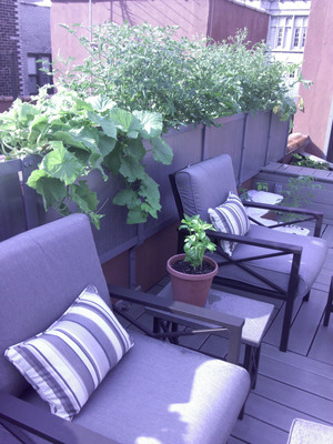 Vegetable container gardening is springing up everywhere, including this co-op apartment in Manhattan. EarthBox containers were chosen for this rooftop garden because of their easy maintenance. Residents are now sharing home-grown produce from the twenty containers.  (PRNewsFoto/EarthBox)