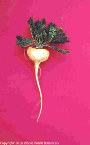 Amidst More Bad News About HRT, Studies on Peruvian Maca Root Offer Hope to Women