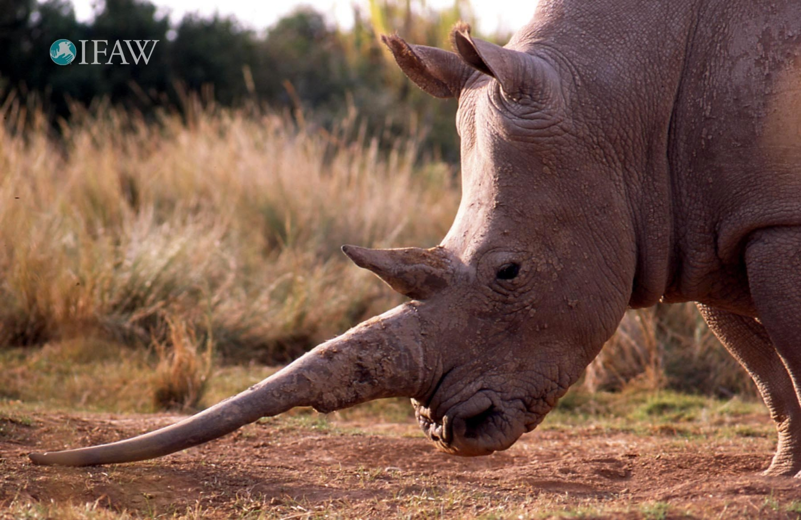 CITES parties reject Swaziland request to trade in white rhino horn.