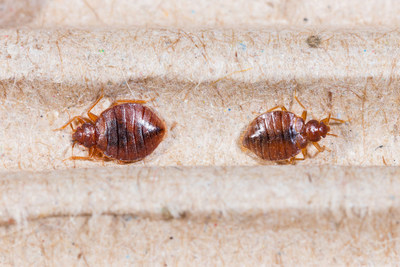 Knowing Bed Bugs Will Help you Kill Them!