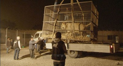 Peru Lion being loaded onto truck