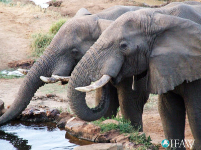 Bull elephants quenching thirst at a waterhole at Sarara Lodge in Namunyak Wildlife Conservation Trust (NWCT).