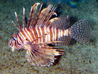 Lionfish off S. Florida Coast