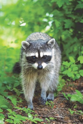 The RABORAL V-RG(R) wildlife rabies vaccine has been used in the U.S. since 1990 to help prevent the local spread of rabies in raccoons.