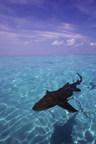 Pew celebra el nuevo santuario de tiburones en el Caribe