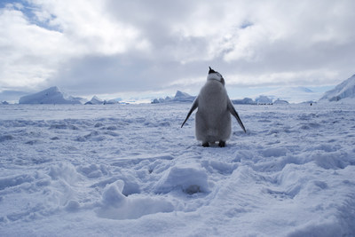 The Ross Sea region is home to 26% of Emperor penguins.
