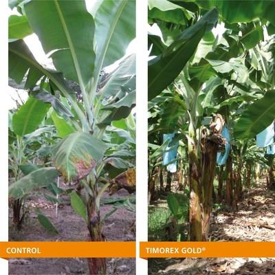 Control of Black sigatoka in banana treated by Timorex Gold(R) (PRNewsFoto/Stockton STK)