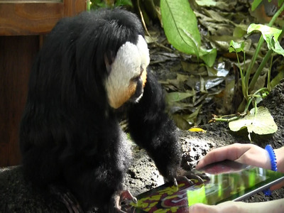 Saki Monkey predicts 49ers will win Super Bowl on his iPad at Moody Gardens in Galveston, Texas.  (PRNewsFoto/Moody Gardens)