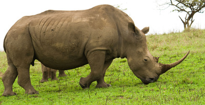 Endangered Black Rhino Conservation Is Newest 'Boutique Adventure' On Crystal African Voyage
