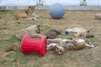 Two More Bolivian Lion Prides To Be Released