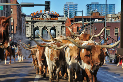 2,000 longhorn steer will be herded through downtown Denver to kick off the National Western Stock Show on January 6, 2011.  (PRNewsFoto/VISIT DENVER, The Convention & Visitors Bureau)