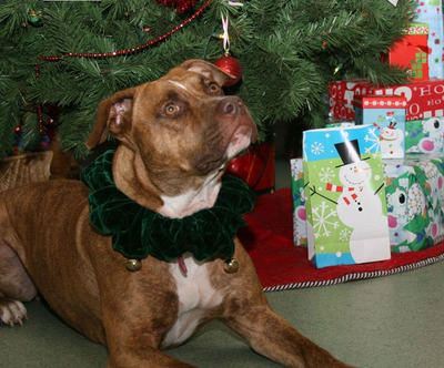 Hazel awaits her gift under the Angel Tree at Best Friends Pet Care.  The company is collecting donations of food and supplies for the homeless pets at 50 animal shelters across the U.S.  (PRNewsFoto/Best Friends Pet Care Inc.)