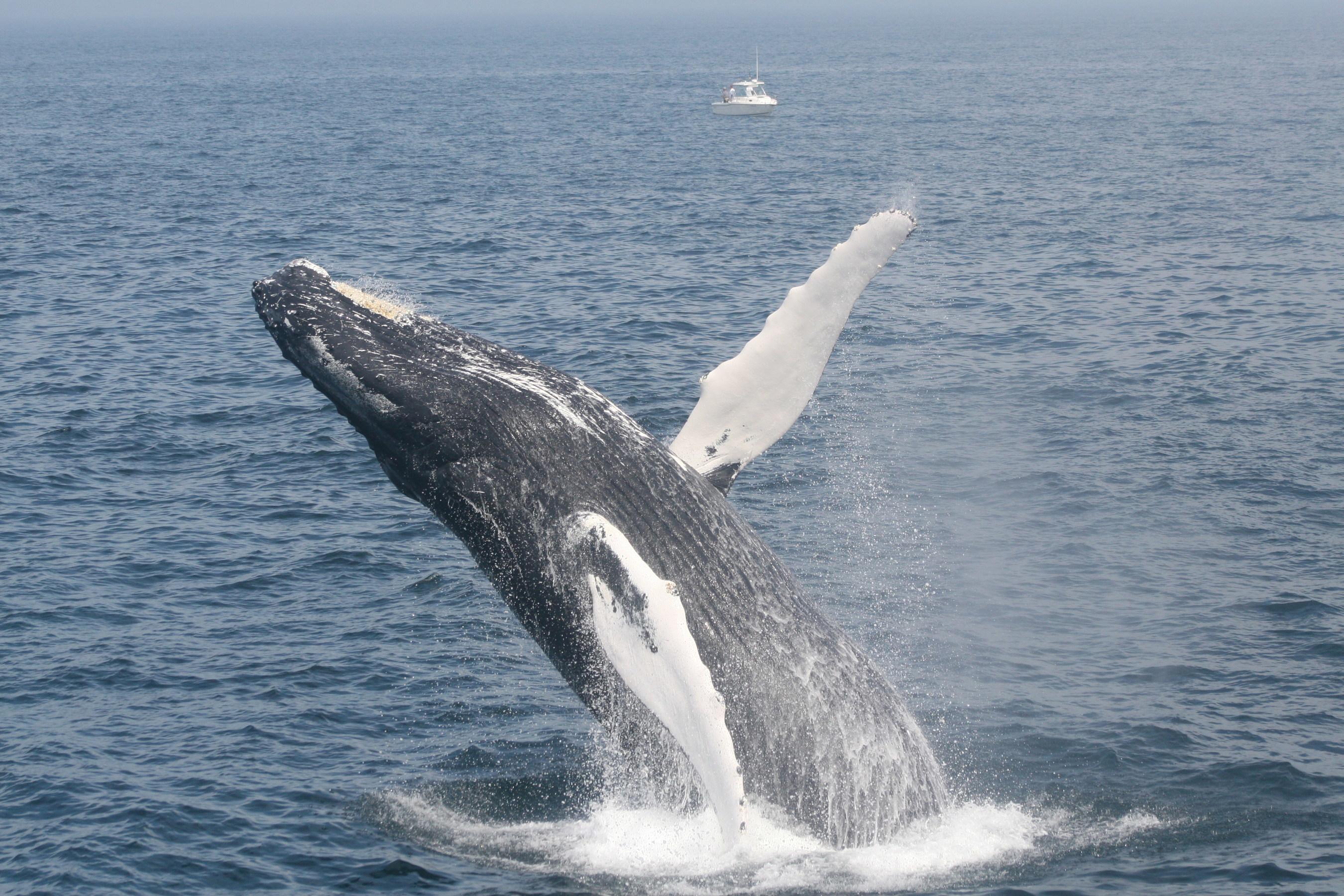 Breaching humpback Image: WDC
