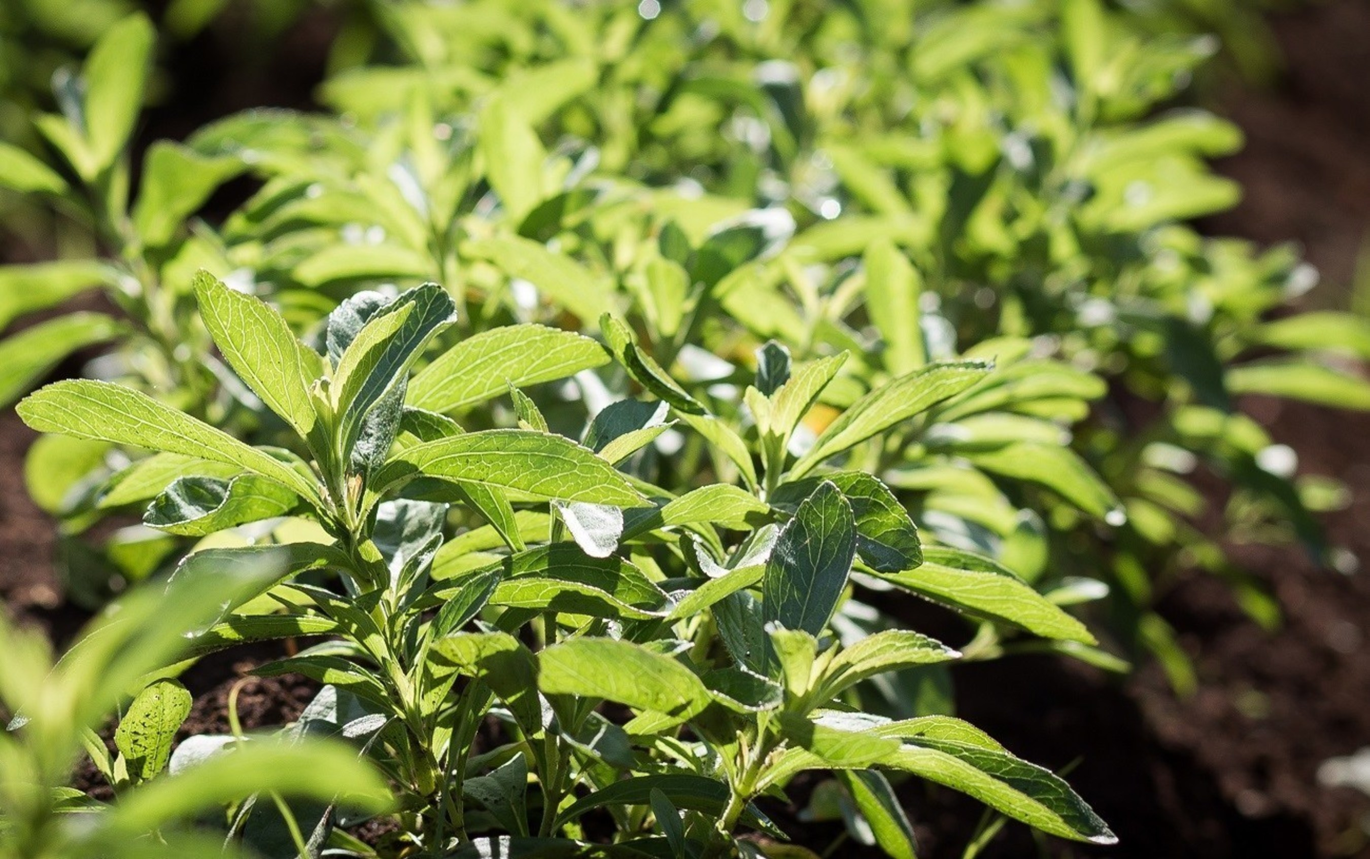 The stevia plant grows in a field in Kenya.