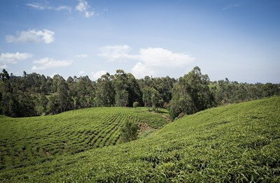 Stevia fields in Kenya.