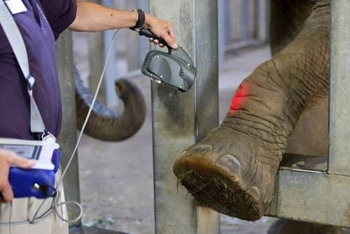 MLS Laser Therapy for elephants – Kansas City Zoo
