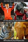 The Tiger and Big Al, mascots of Clemson University and the University of Alabama, pictured above their wild counterparts.
