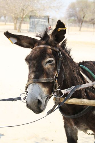 A donkey's ears are tagged with reflectors in Maun, northern Botswana (Copyright: MAWS/SPANA)