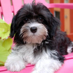Royal Flush Havanese Recommends Quality Dog Food For Optimum Health