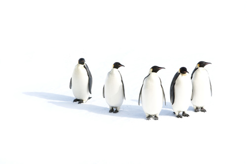 Emperor penguins in the Ross Sea, Antarctica. Credit: John B. Weller. (PRNewsFoto/The Pew Charitable Trusts)