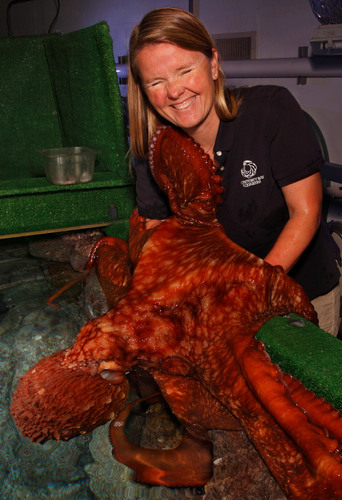 """The giant Pacific octopus, here with Monterey Bay Aquarium senior aquarist Julia Mariottini, is one of the amazing animals in """"Tentacles: The Astounding Lives of Octopuses Squid and Cuttlefishes"""". It's the world's largest exhibit of creatures that have gripped the human imagination for thousands of years. """"Tentacles"""" continues at the Monterey Bay Aquarium from April 12, 1024 through Labor Day 2016. It's included with aquarium admission. Credit: (c) Monterey Bay Aquarium/Randy Wilder. (PRNewsFoto/Monterey Bay Aquarium) (PRNewsFoto/MONTEREY BAY AQUARIUM)"""