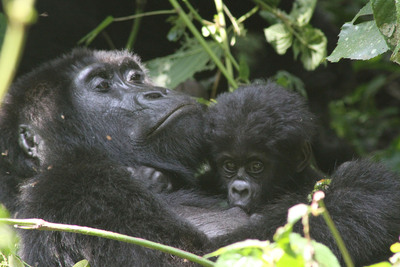 Guests on Crystal's Gorilla Tracking Experience may witness one of Uganda's rare gorilla family groups, such as this mother gorilla feeding her baby.  (PRNewsFoto/Crystal Cruises)