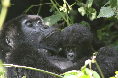Guests on Crystal's Gorilla Tracking Experience may witness one of Uganda's rare gorilla family groups, such as this mother gorilla feeding her baby. (PRNewsFoto/Crystal Cruises) (PRNewsFoto/CRYSTAL CRUISES)