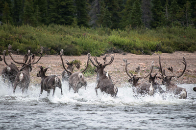 Caribou in the Canadian boreal.
