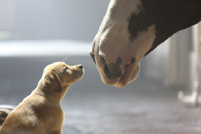 """Anheuser-Busch will feature 3.5 minutes of advertising for iconic beer brands Bud Light and Budweiser during Super Bowl XLVIIII, including a spot from Budweiser titled """"Puppy Love"""" that continues the story of 2013's celebrated """"Brotherhood"""" spot with the introduction of a new, young star -- a 10-week-old puppy that forges a bond with the Budweiser Clydesdales.  (PRNewsFoto/Anheuser-Busch)"""