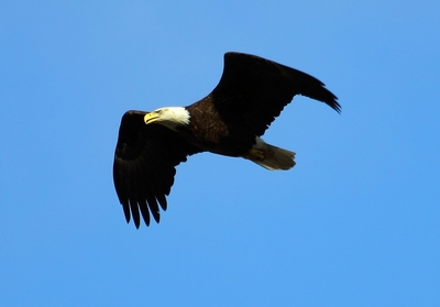 Save Hays Eagles: Pittsburgh Bald Eagles at Risk Due to Rat Poison Presence Nearby. Photo credit: Dana Nesiti. (PRNewsFoto/Save Hays Eagles)