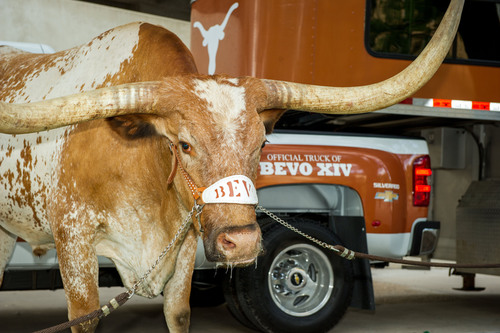 Bevo, the University of Texas mascot, is shown with his new ride, a 2014 Chevrolet Silverado, during a press ...