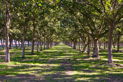 Walnut orchard in Central Valley of California.  (PRNewsFoto/California Walnut Commission)