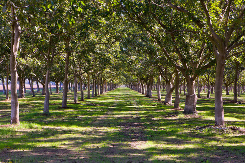 California Walnut Industry Expects Quality Crop Early