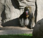 "The oldest mandrill in the United States, Wucaria, 34, enjoys a day in the sunshine at the Phoenix Zoo after a delicate kidney operation that was performed by the zoo's veterinarians and one of the nation's top ""human"" heart surgeons.  Harvard-trained Dr. Brian deGuzman of Phoenix's St. Joseph's Hospital was tapped to help perform the life-saving surgery.  (PRNewsFoto/St. Joseph's Hospital and Medical Center; Phoenix Zoo, Ryan Dimal)"