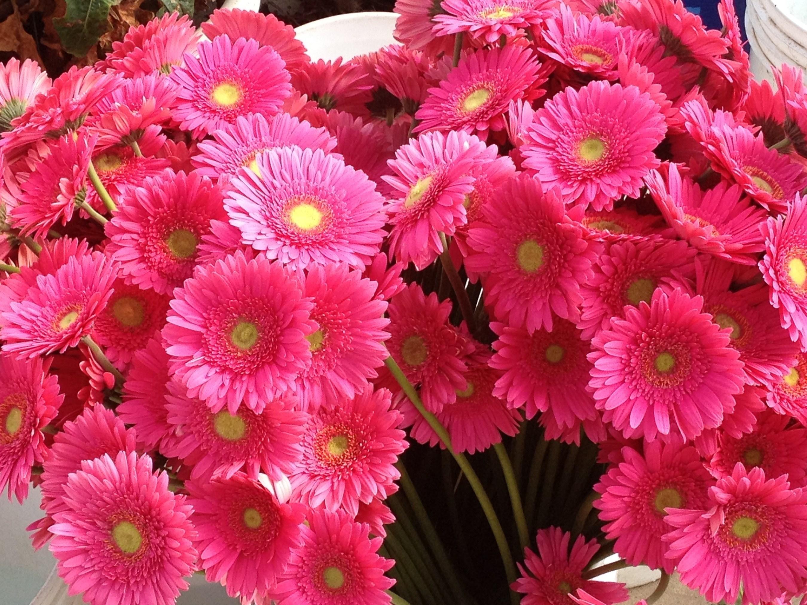 Dramm & Echter Farms Pink Gerbera Daisies