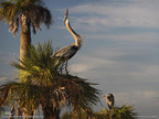 Blue herons are one species of many birds seen in the man-made marshes and lakes collectively known as the Viera Wetlands.