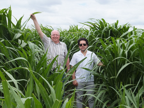 The picture shows 16 week old Giant King Grass which is 8 feet tall on the AGRICORP plantation in Nicaragua. ...