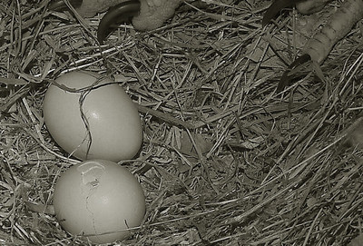 """Breaking"" News: First Bald Eaglet Begins to Hatch from Egg LIVE on Washington D.C. Eagle Nest Cam!  Tens of thousands of people from all over the world are watching with excitement as the first egg of ""Mr. President"" and ""The First Lady"" begins to hatch. The first sign of hatching was witnessed late at night on March 16th. This photo was taken around 5:20 a.m. on March 17th. All the action can be watched 24/7 on dceaglecam.eagles.org via two live-streaming, high-definition cameras. Photo (C) American Eagle Foundation; Screenshot captured by Sue Greeley."