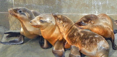 SAIC's marine mammal staff will donate more than 1,000 hours of volunteer service to care for stranded sea lion pups in Southern California.