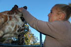 Oakland Zoo Lead Giraffe Keeper Amy Phelps secures a live-action camera on the head of 19-year-old Reticulated giraffe Benghazi. The footage could help zookeepers better understand navigation habits. By sharing Benghazi's point-of-view with the world, Phelps hopes to create empathy and connection to giraffe and their critical situation in the wild. Wild giraffe populations have declined 50 percent since 1999.