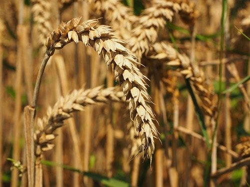 A more complete and accurate wheat genome assembly is being made available to researchers, by The Genome ...