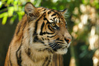 Rainforest Trust announces Earth Day campaign to raise $85,000 to protect 25,000 acres of threatened rainforest on the Indonesian island of Sumatra. Upon completion, the initiative will protect over 200,000 acres of threatened habitat for critically endangered Sumatran tigers. At present, only 400 Sumatran tigers remain in the wild.