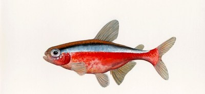 illustrated cardinal tetra (Credit: Sally Landry)