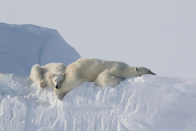 A World First: See Polar Bears on Icebergs in the High Arctic in spring on New Photo Expedition