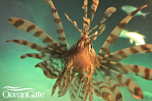 Agressive Lionfish approaches OceanGate's Manned Submersible, Antipodes, on recent dives in South Florida. ...