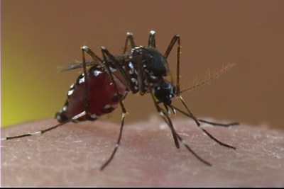 The Asian tiger mosquito can spread the chikungunya virus and is common in the Southeast United States and parts of the Southwest. Unlike other species, the Asian tiger is active throughout the day, not just at dusk and dawn, and often lives around buildings in urban areas.