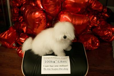 Kupo The Dog Reaches 100K Likes on Facebook.  (PRNewsFoto/Kupo The Dog)