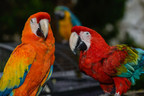 Horseshoe Bay Resort is celebrating the birthdays of two of it's featured attractions. Apple, a Green-winged Macaw, and Sunshine, a Capri Macaw, have been with the resort for over 10-years. The birthday celebration starts this Saturday at 9 a.m. the resort's Palm D'or Pavilion.